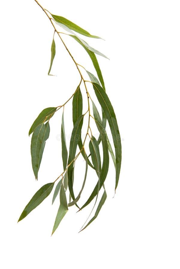 Geïsoleerde eucalyptus stock foto