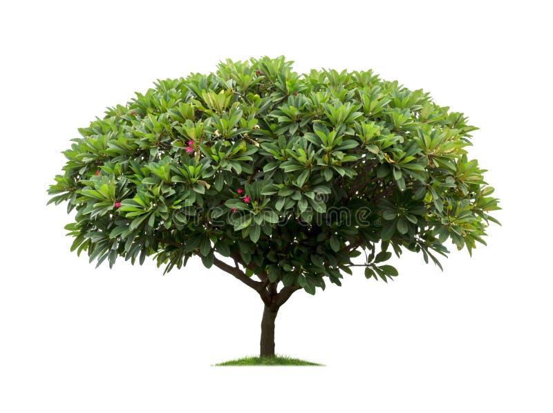 Geïsoleerde frangipani of plumeriaboom op witte achtergrond royalty-vrije stock afbeeldingen