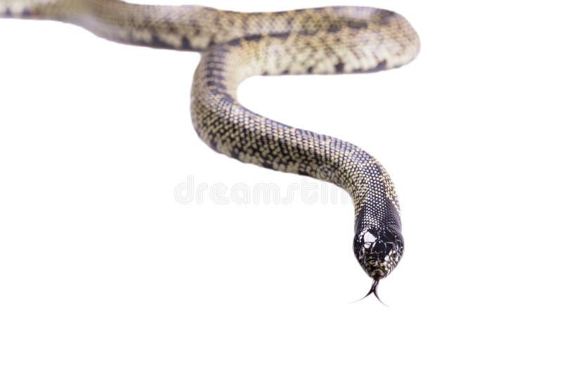 Geïsoleerde getulasplendida van slanglampropeltis stock foto