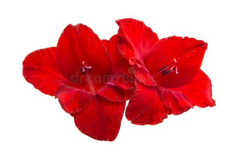 Geïsoleerde gladiolen stock afbeelding