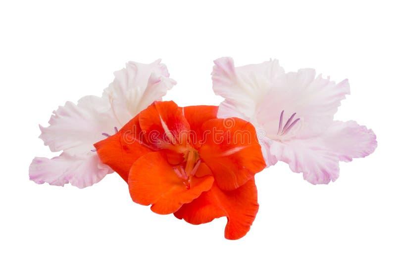Geïsoleerde gladiolen stock fotografie
