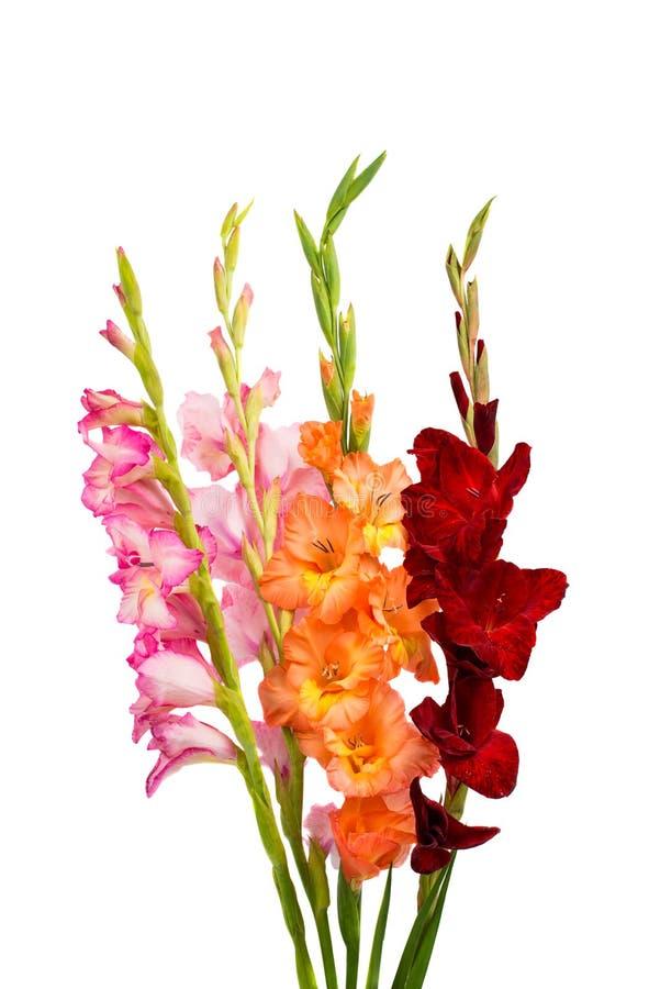 Geïsoleerde gladiolen royalty-vrije stock fotografie