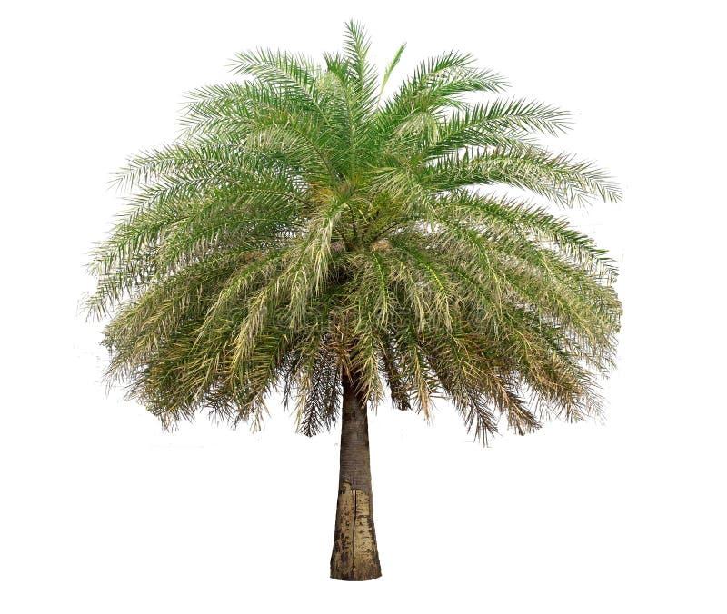 Geïsoleerde grote Palm op Witte Achtergrond royalty-vrije stock afbeelding