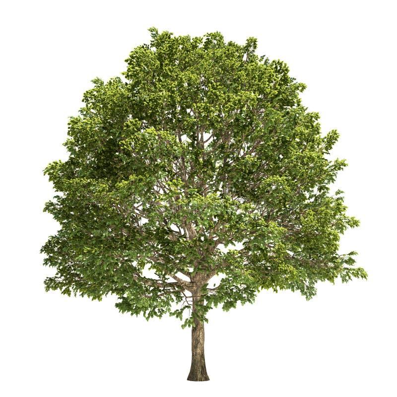 Geïsoleerde haagbeukboom stock illustratie