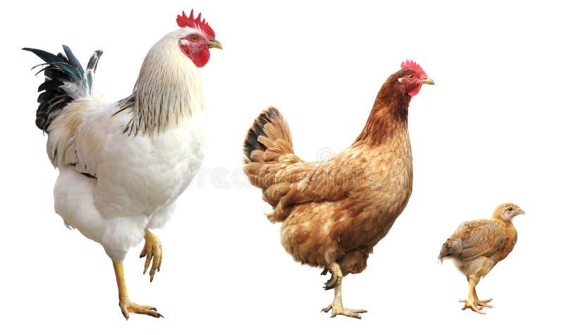 Geïsoleerde haan, kip en kip, stock foto's