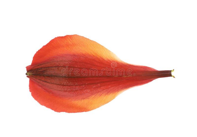 Geïsoleerde het bloemblaadje van de Alstroemeriabloem ` s royalty-vrije stock fotografie
