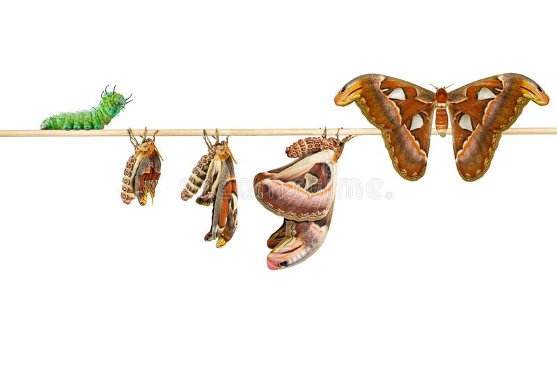 Geïsoleerde het levenscyclus van de vrouwelijke mot van de attacusatlas van caterpilla royalty-vrije stock foto's