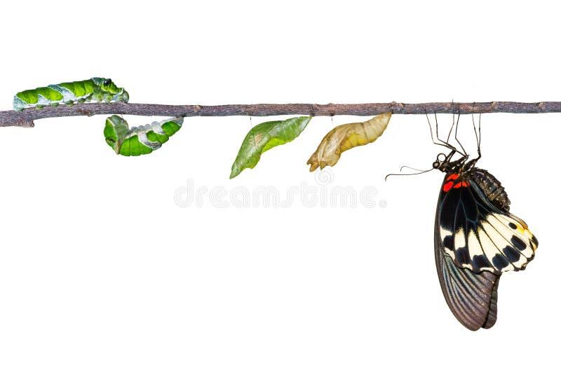 Geïsoleerde het levenscyclus van vrouwelijke grote mormoonse vlinder van caterp stock foto's