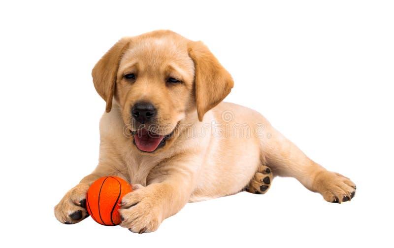 Geïsoleerde het puppy van Labrador royalty-vrije stock foto's