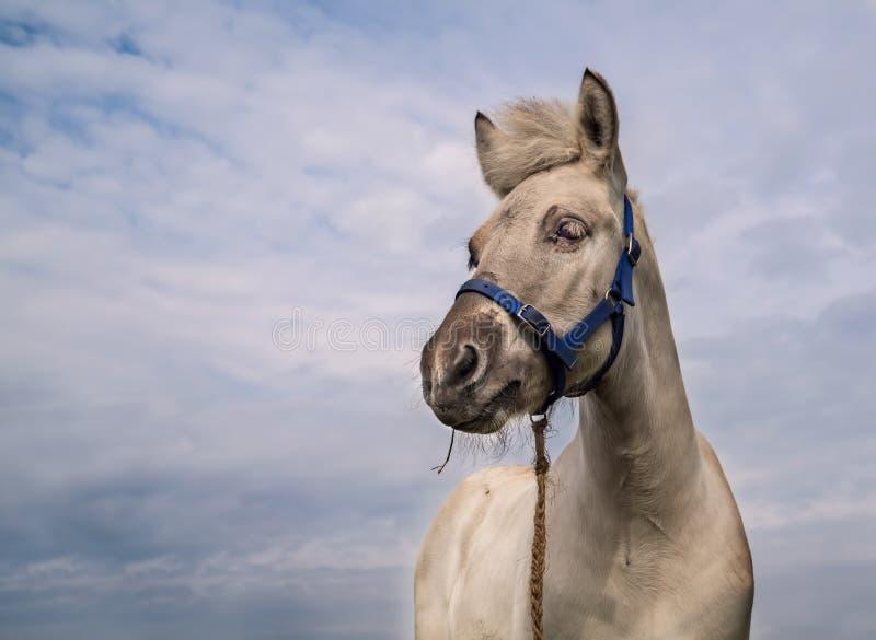 Geïsoleerde het veulen van het fjordpaard royalty-vrije stock fotografie