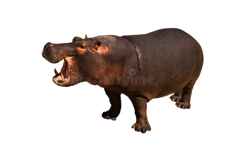 Geïsoleerde Hippo stock afbeeldingen