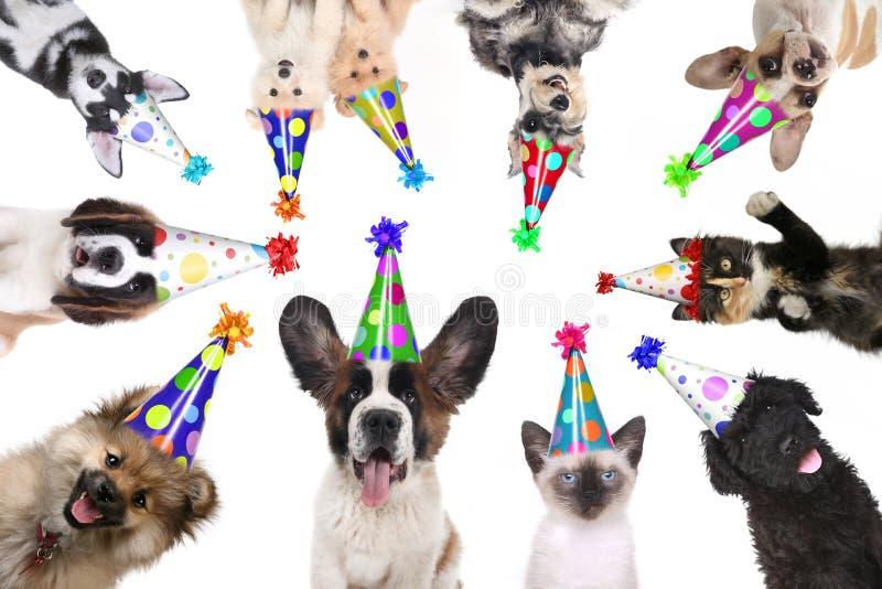 Geïsoleerde huisdieren het Dragen van Verjaardagshoeden voor een Partij stock foto