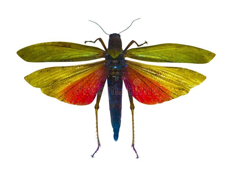 Geïsoleerde insectsprinkhaan royalty-vrije stock afbeeldingen