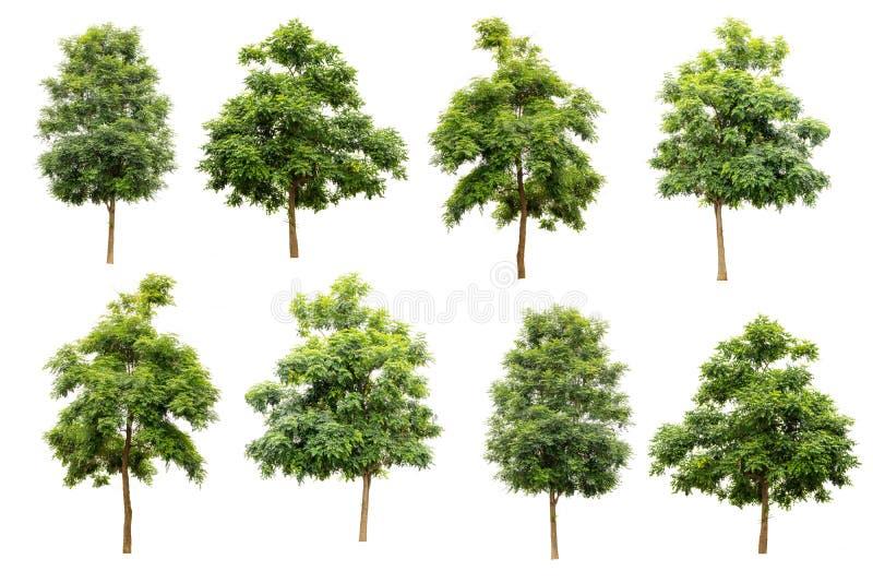 geïsoleerde inzameling van Indische cork boom (Millingtonia-hortensis) royalty-vrije stock fotografie