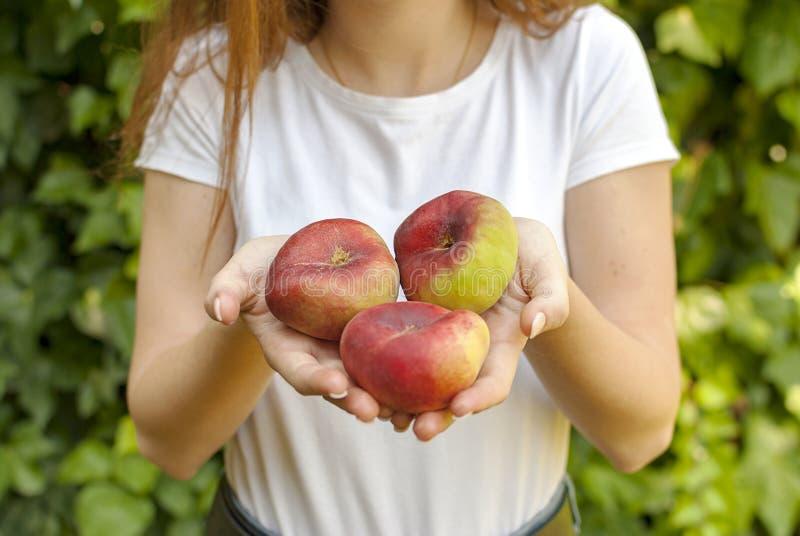 Geïsoleerde jonge vrouw die sommige rode vliegtuigperziken in haar handen houden Prunus persica-platycarpa Chinees, vliegtuigperz stock afbeeldingen