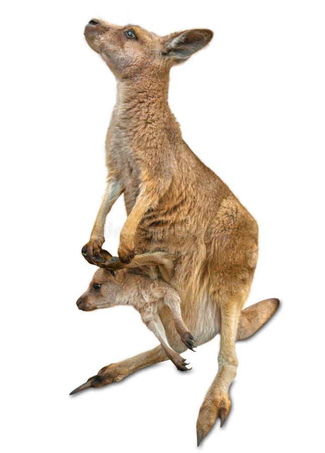 Geïsoleerde kangoeroe met joey stock foto