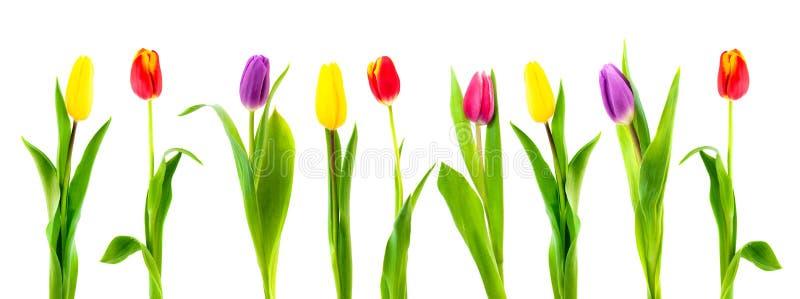 Geïsoleerde kleurrijke tulp royalty-vrije stock foto
