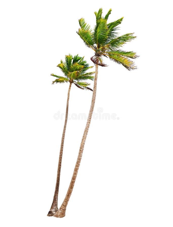Geïsoleerde kokosnotenpalmen stock afbeeldingen