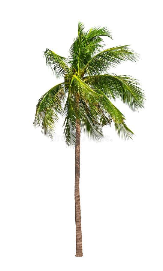 Geïsoleerde kokosnotenpalmen royalty-vrije stock afbeeldingen