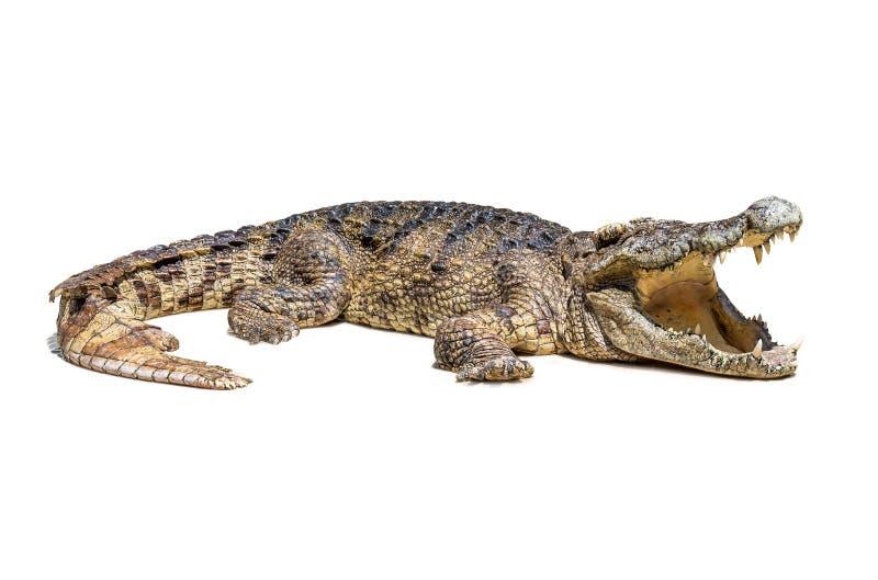 Geïsoleerde krokodil stock afbeelding