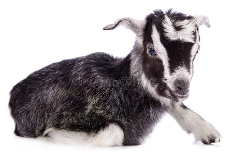 Geïsoleerde landbouwbedrijf dierlijke geit royalty-vrije stock afbeeldingen