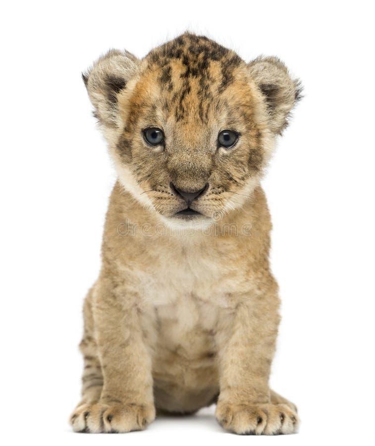 Geïsoleerde leeuwwelp, 4 weken oud, royalty-vrije stock afbeeldingen