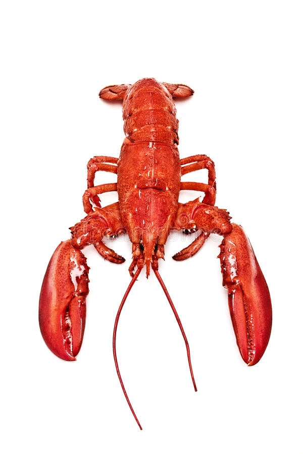 Geïsoleerde Maine Lobster stock foto