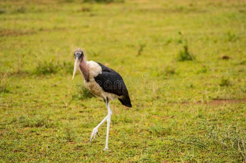 Geïsoleerde Maraboe die in de savannevlakte lopen van Amboseli-Park royalty-vrije stock fotografie