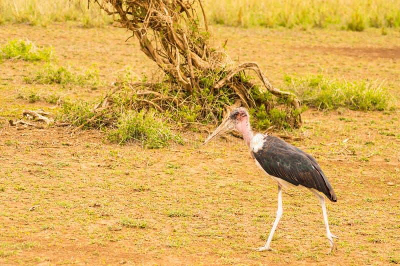 Geïsoleerde Maraboe die in de savannevlakte lopen van Amboseli-Park royalty-vrije stock foto