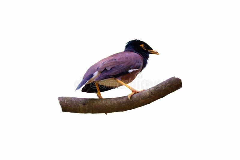 Geïsoleerde Mynasvogel stock afbeelding