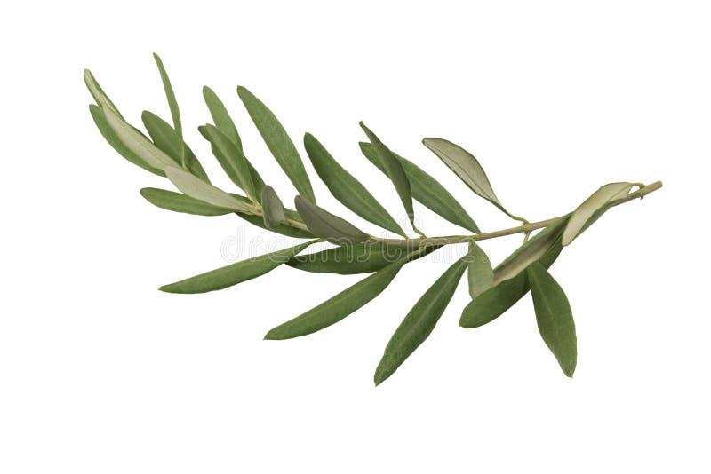 Geïsoleerde olijftak en bladeren stock fotografie
