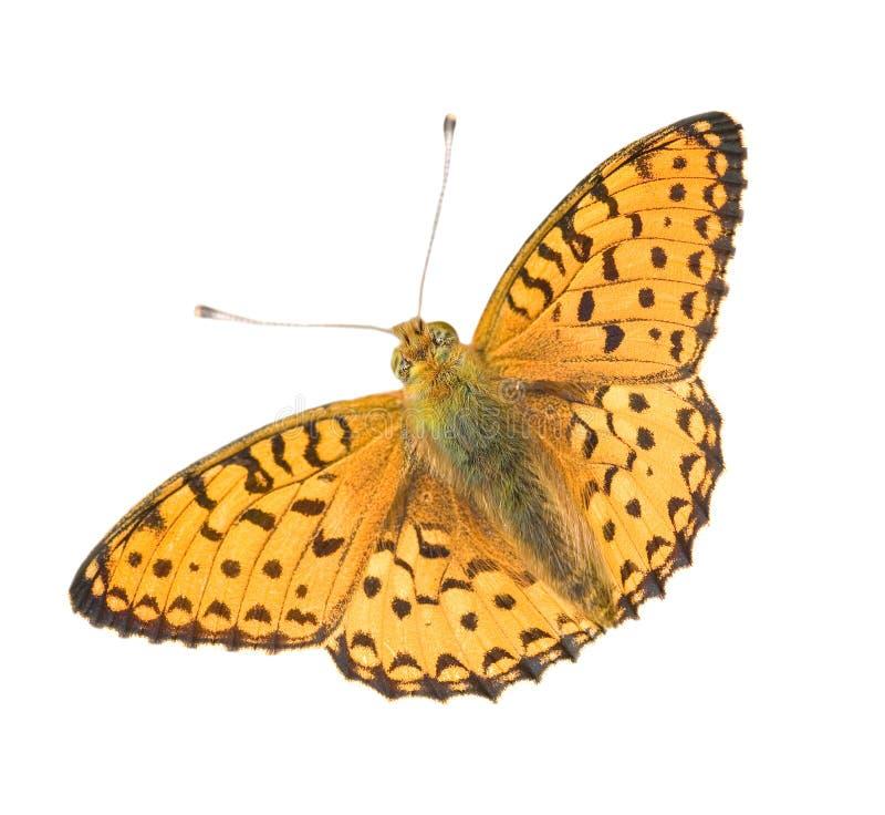 Geïsoleerde oranje vlinder stock foto's