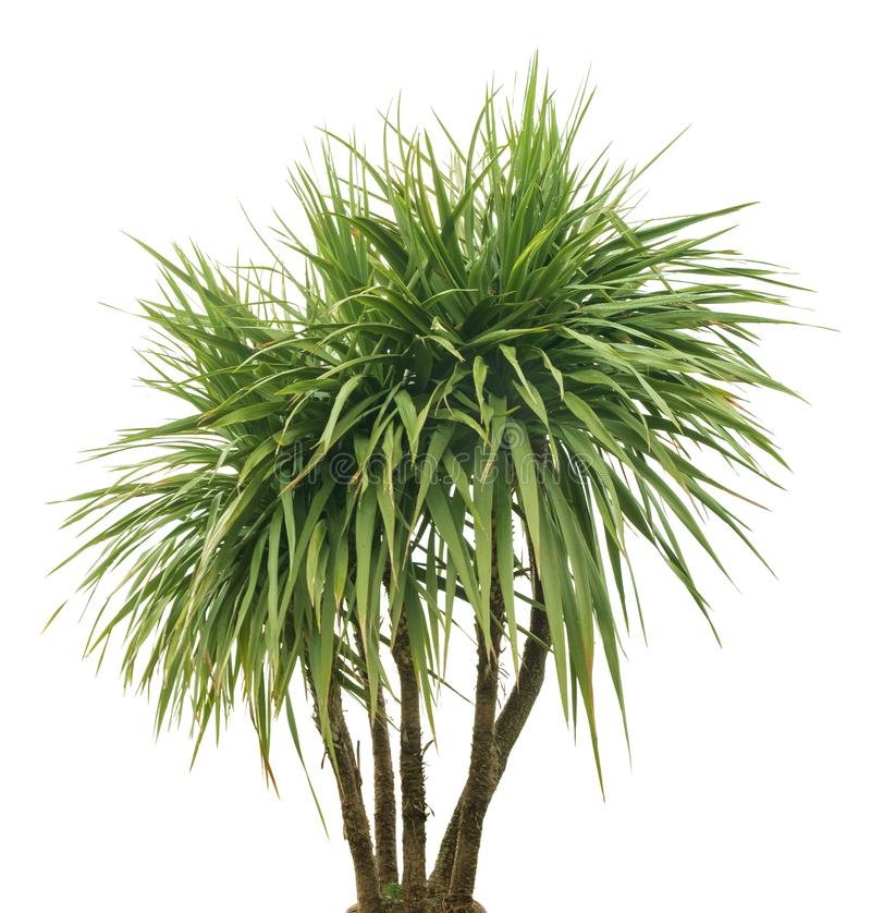 Geïsoleerde palm, stock foto