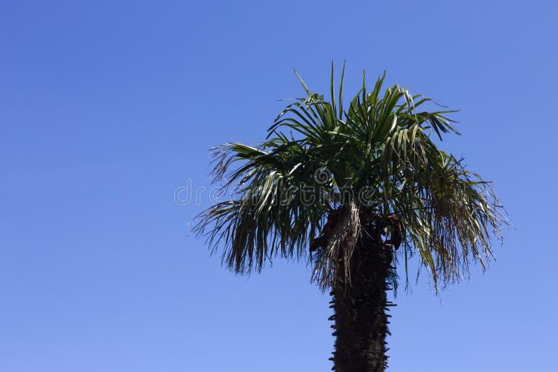 Geïsoleerde palm en een blauwe hemelachtergrond - Minimale mening stock afbeeldingen