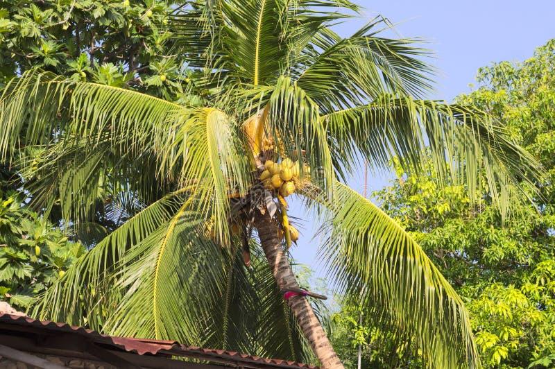 Geïsoleerde palm met kokosnoten royalty-vrije stock afbeelding