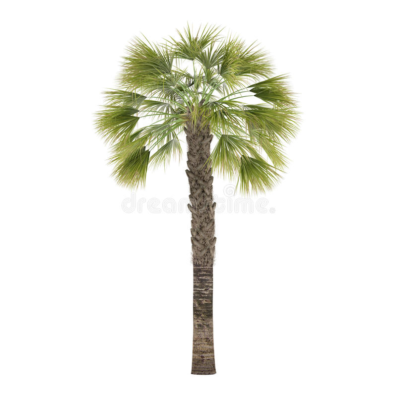 Geïsoleerde palm. Sabal Palmetto stock foto's