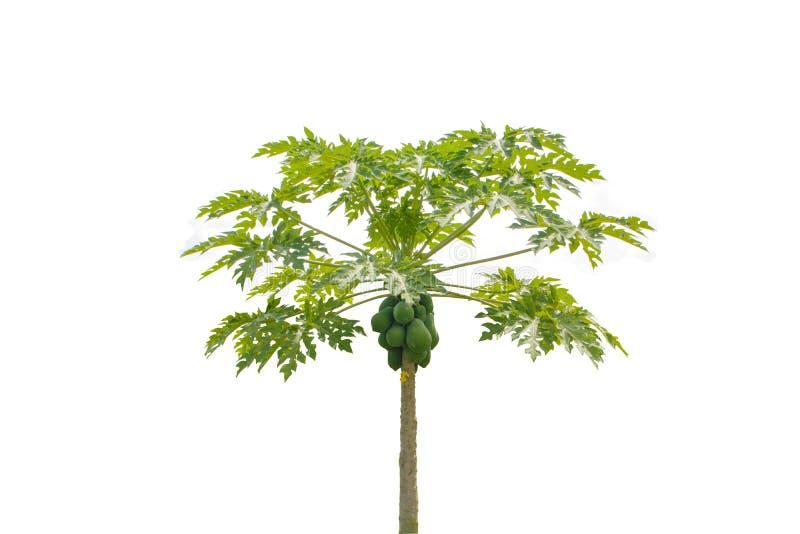 Geïsoleerde papajaboom royalty-vrije stock afbeelding