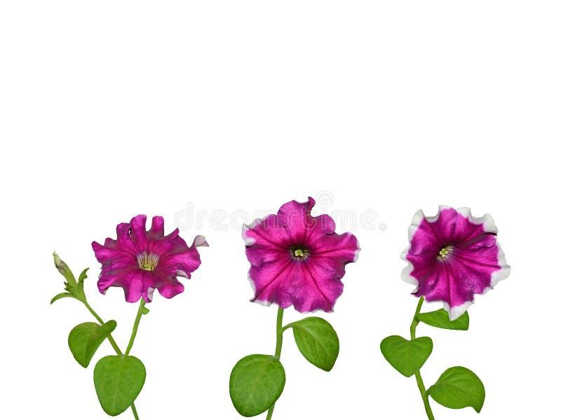 Geïsoleerde petuniabloemen royalty-vrije stock foto's