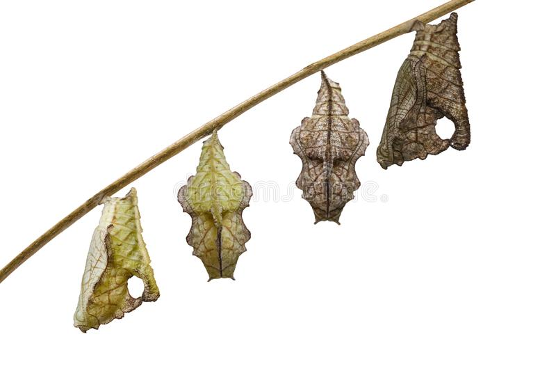 Geïsoleerde pop van Gestreepte katvlinder Pseudergolis die wedah op takje met witte achtergrond hangen stock foto