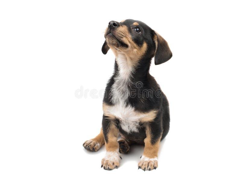 Geïsoleerde puppytekkel stock foto's