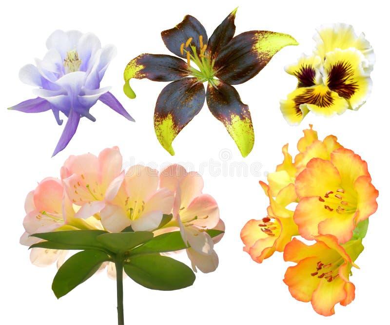 Geïsoleerde reeks van kleurrijke bloem, de lentetijd van de volledige bloeiflora, Lionheart-lelie stock foto
