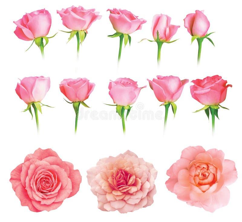 Geïsoleerde reeks verse rozen royalty-vrije stock afbeelding