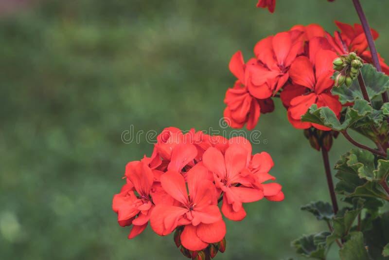 Geïsoleerde Rode Bloem in Tuin met Vage Achtergrond en Beschikbare ruimte voor Tekst - Sunny Autumn Day, Abstracte Achtergrond stock afbeelding