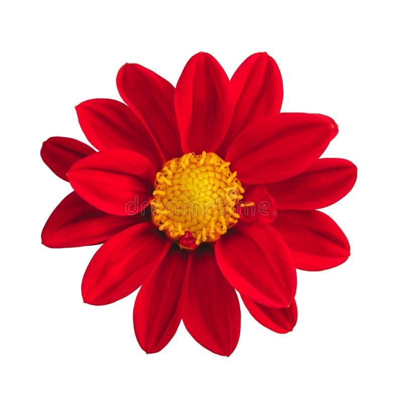 Geïsoleerde rode Mexicaanse zonnebloem op witte achtergrond stock afbeelding