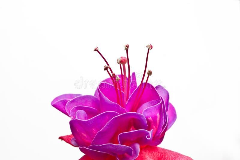 Geïsoleerde rode roze bloem royalty-vrije stock afbeeldingen