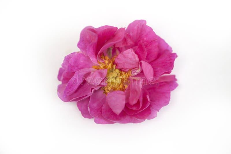 Geïsoleerde Rose Damascena stock foto's