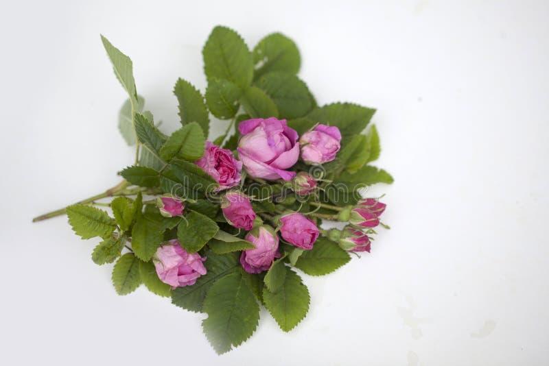 Geïsoleerde Rose Damascena royalty-vrije stock afbeeldingen