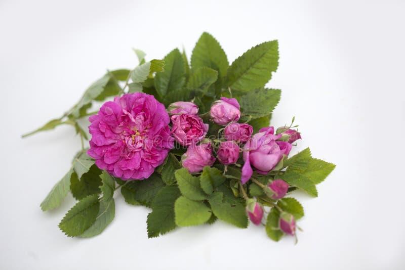 Geïsoleerde Rose Damascena royalty-vrije stock foto's