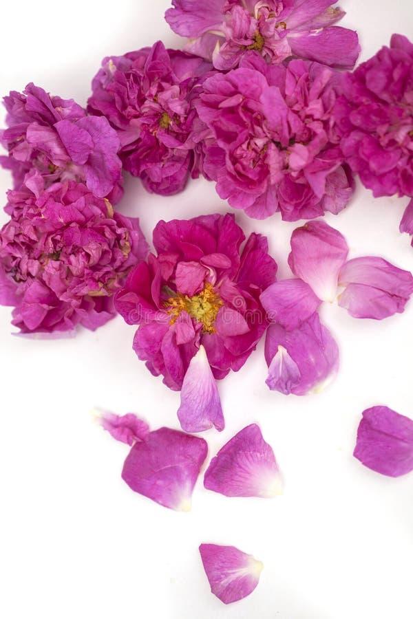 Geïsoleerde Rose Damascena royalty-vrije stock foto