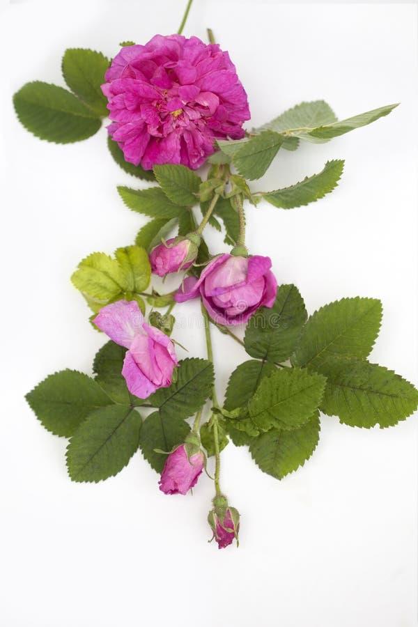 Geïsoleerde Rose Damascena stock fotografie